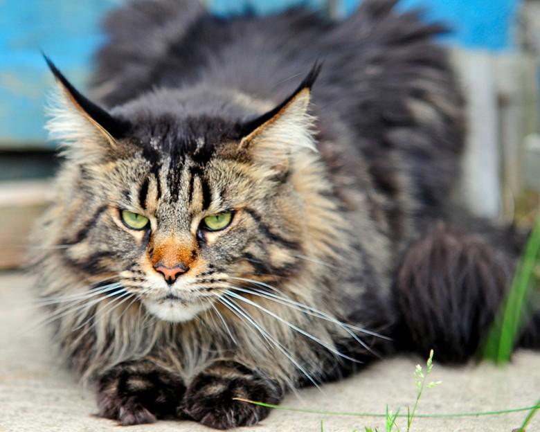 Кот мейн-кун взрослый