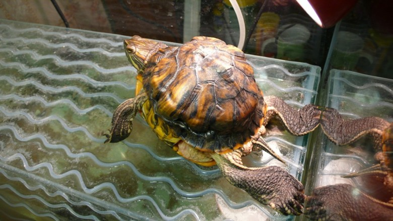 Болезнь черепахи