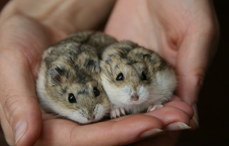 Маленькие хомяки