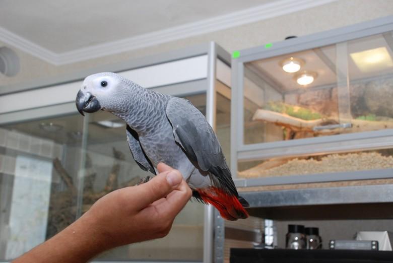 Здоровый попугай жако