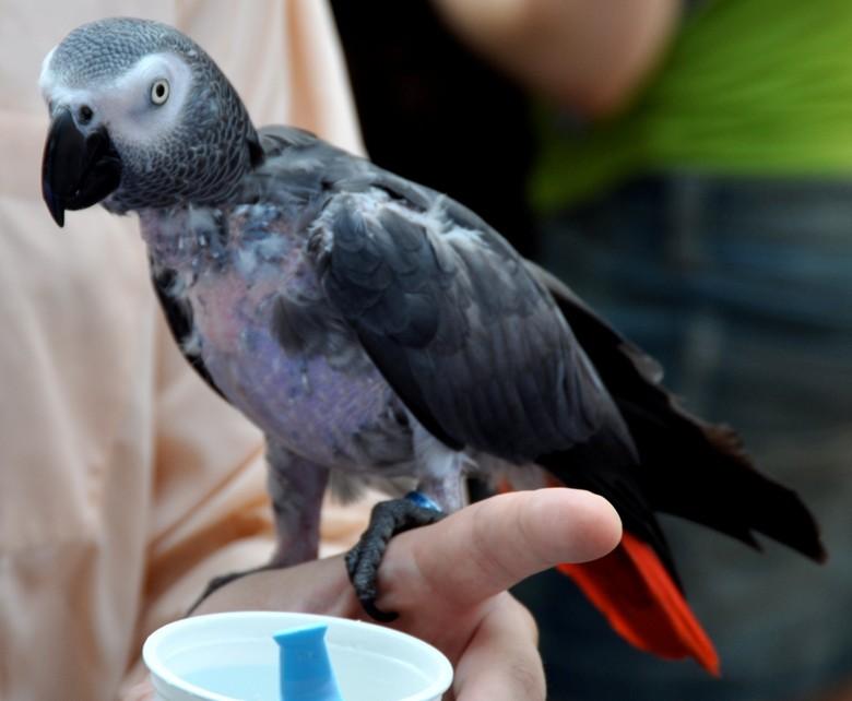 Заболевание попугая жако