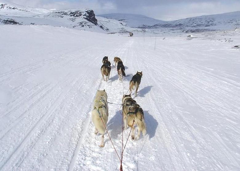 Аляскинский хаски тянут упряжку