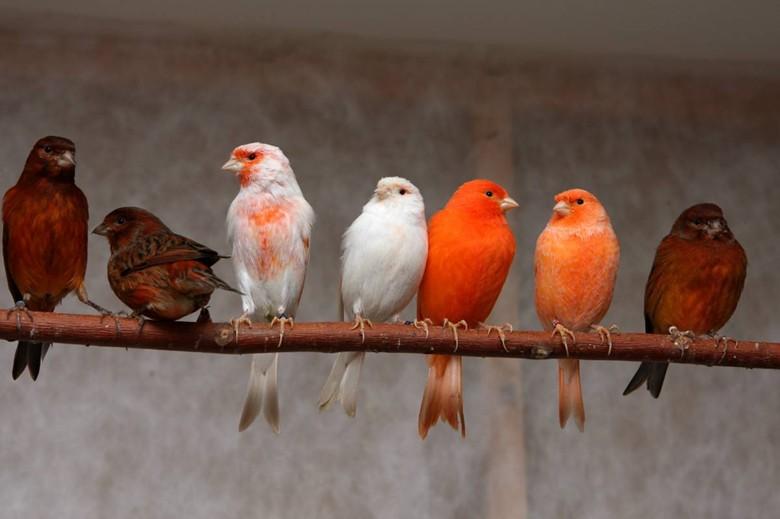 семь цветных канареек