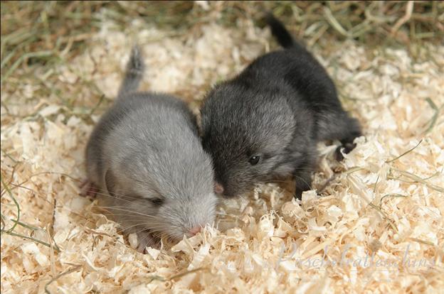 Детеныши самки шиншиллы