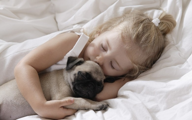 Щенок мопса спит с девочкой