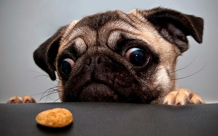 Мопс смотрит на еду
