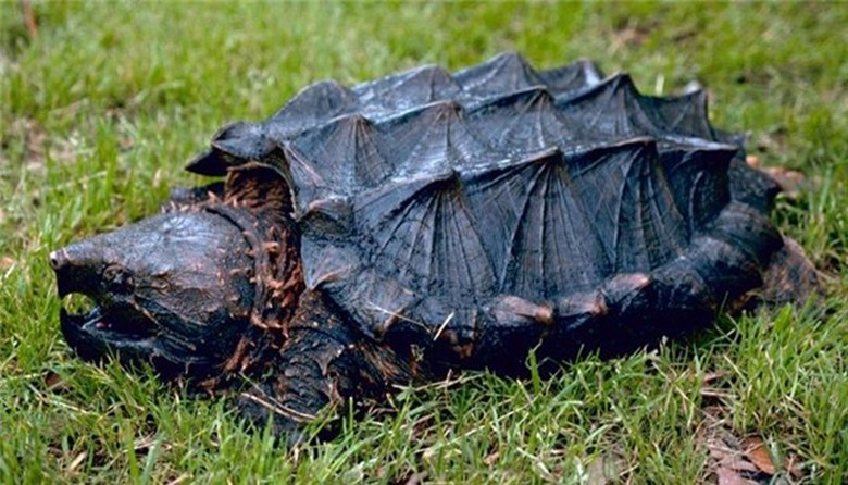Кусачая каймановая черепаха в траве