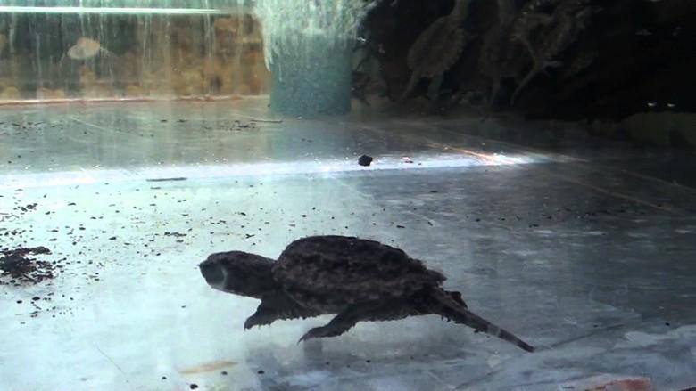 Кусачая каймановая черепаха в аквариуме
