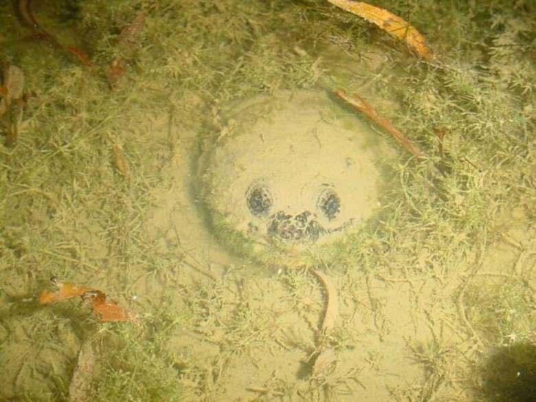 Каймановая черепаха спряталась в ил