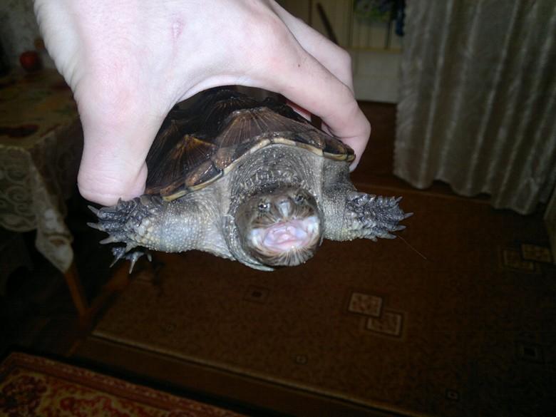 Подросток каймановой кусачей черепахи