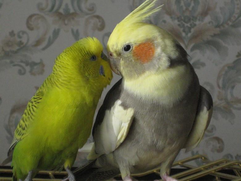 Корелла дружит с другим попугаем