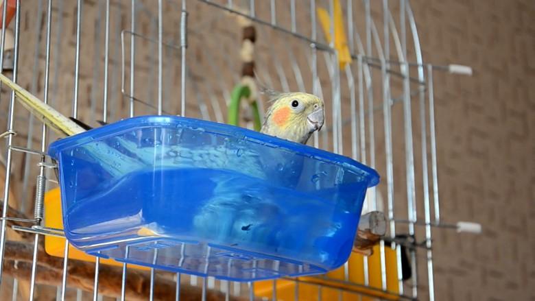 Водные процедуры попугая корелла