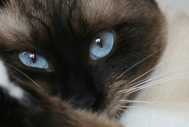 Красивые глаза кошки сноу шу