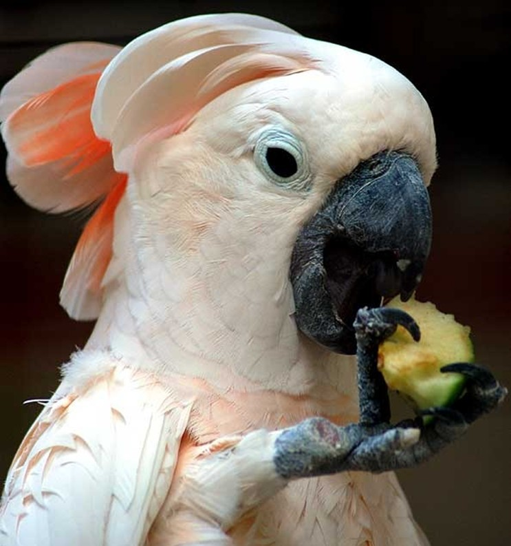 Какаду ест яблоко