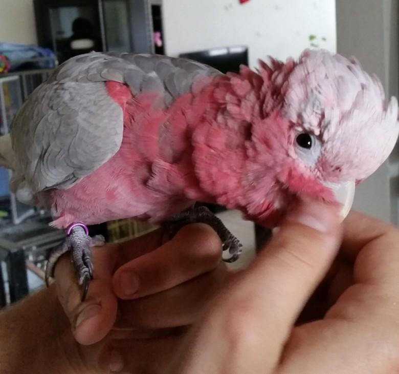 Подросток какаду розового оперения