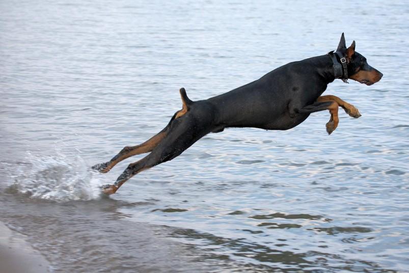 доберман играется в воде