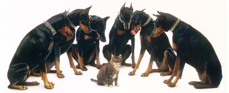 доберман и чужая кошка
