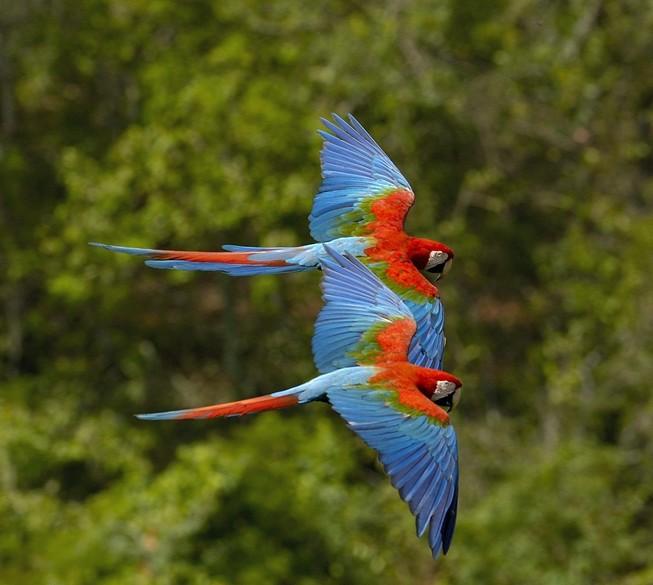 Попугаи ара летят
