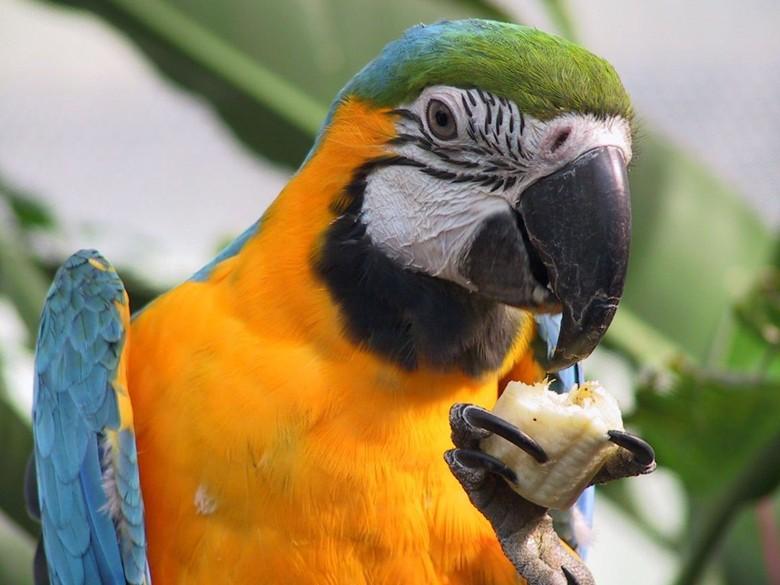 Попугай ара ест банан