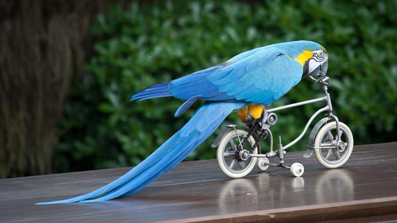 Голубой ара на велосипеде