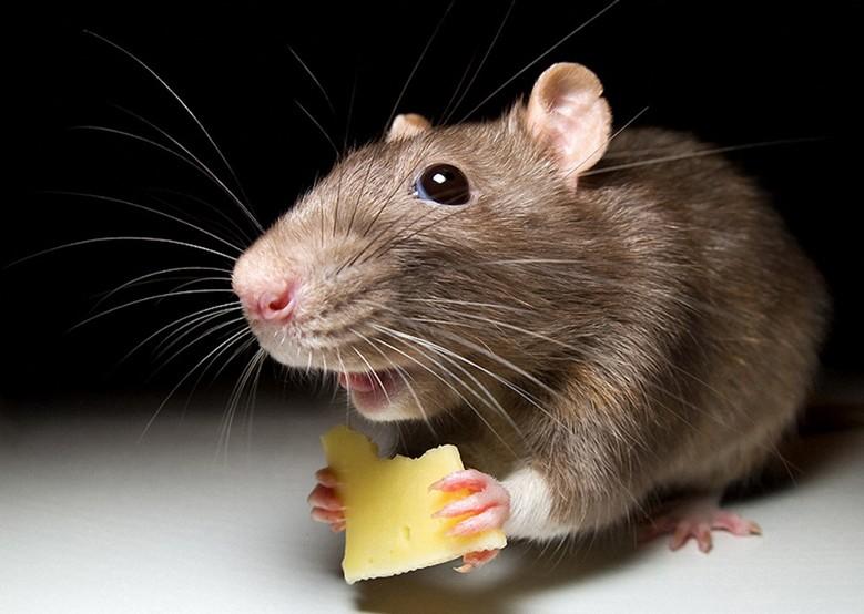 домашняя мышь ест сыр