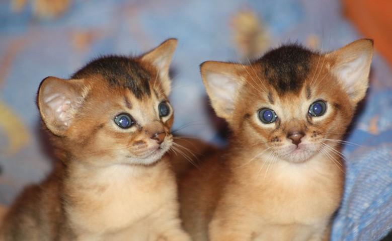питомник абиссинских котят