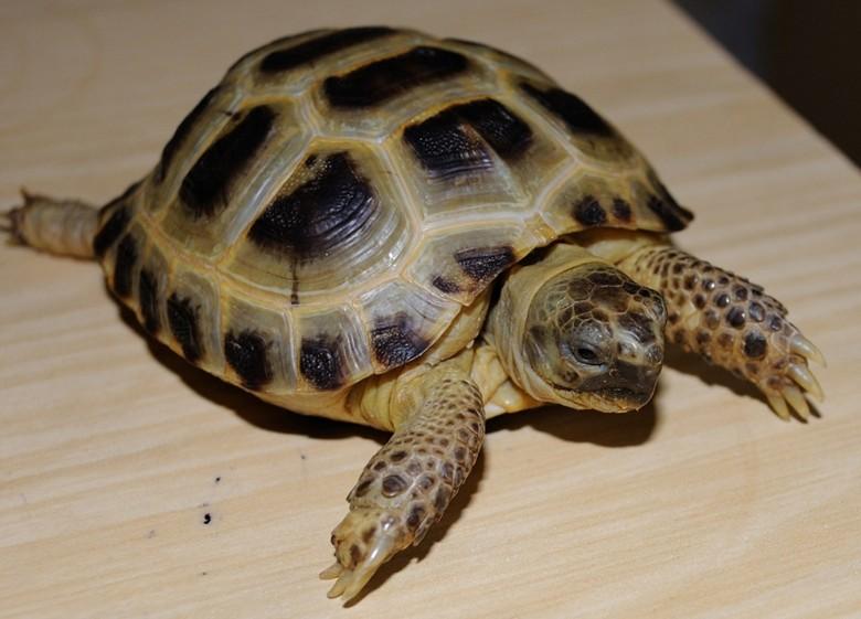 черепаха породы среднеазиатская