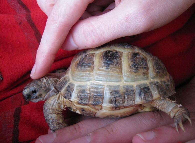 черепаху гладят