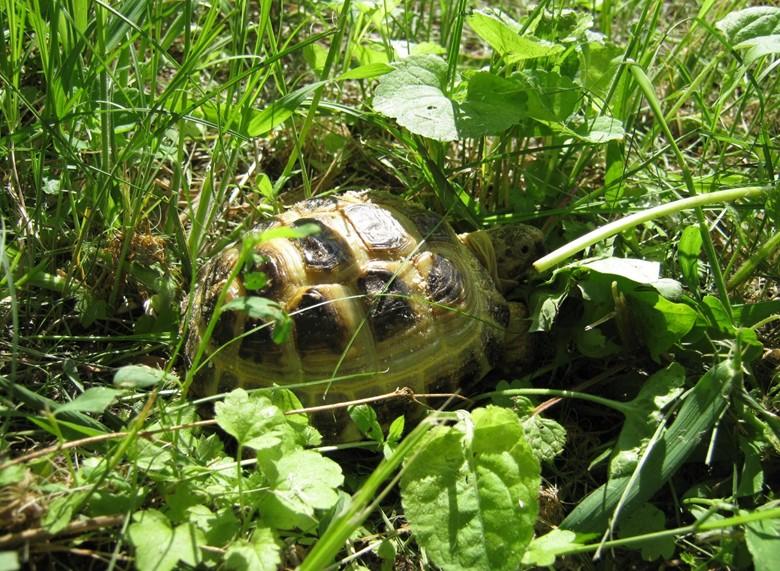 среднеазиатская черепаха гуляет на лужайке