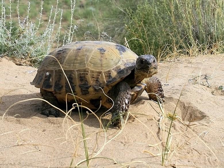 черепаха в диких условиях