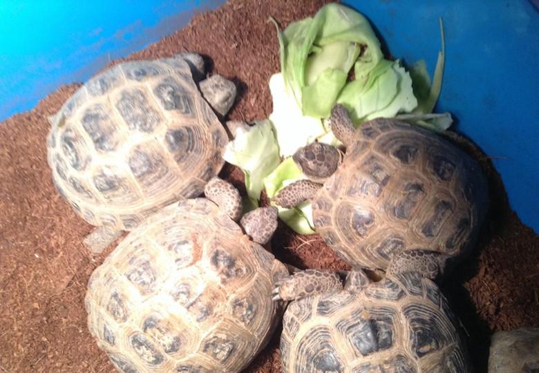 среднеазиатские черепахи едят капусту