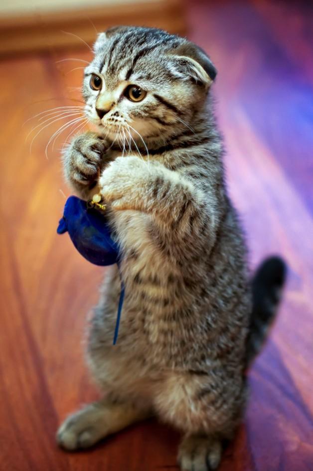 кошка стоит на задних лапах