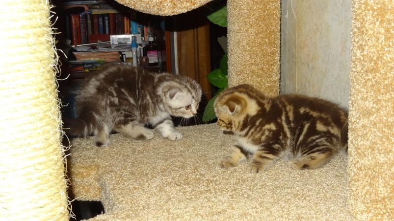 два котенка играются