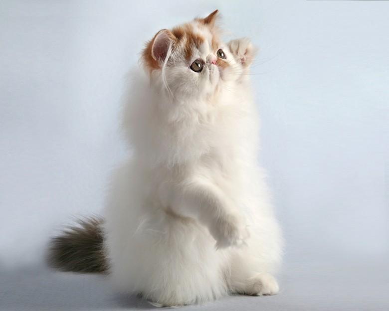 персидская кошка на задних лапках