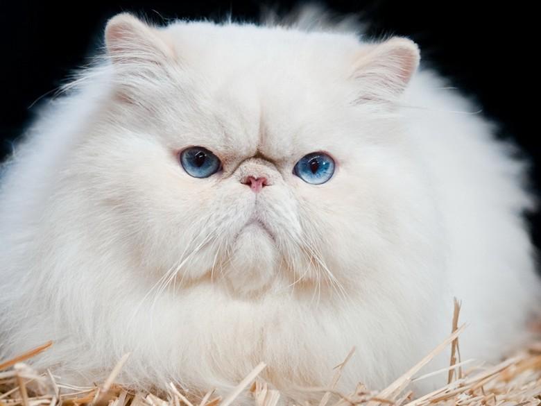сердитый взгляд персидского кота