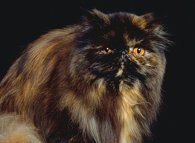 персидская кошка черепахового цвета