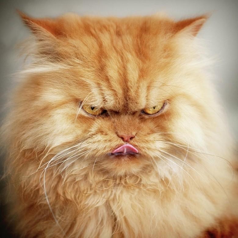 персидский кот рыжего окраса