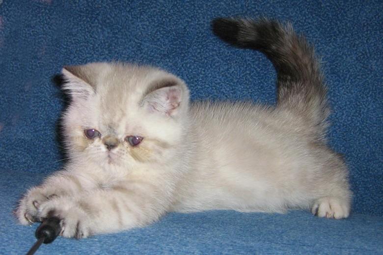 котенок породы персидский
