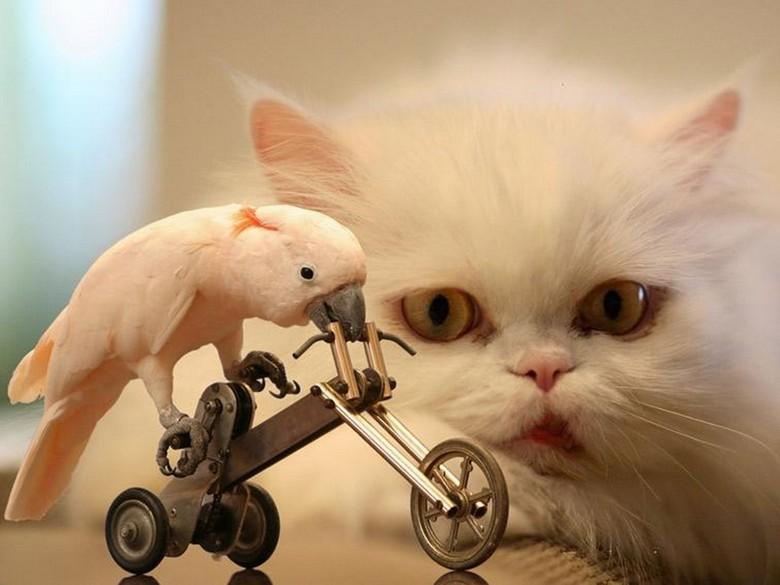 персидская кошка и попугай