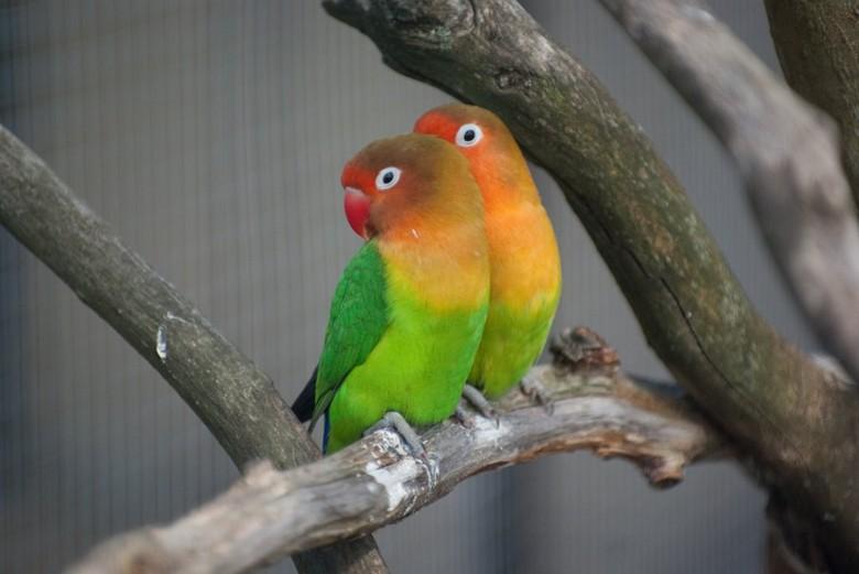 два попугая Фишера