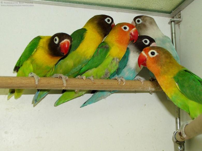шесть попугаев неразлучников