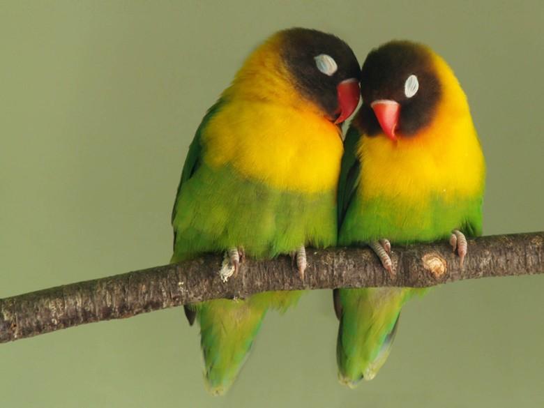 влюбленная пара попугаев неразлучников