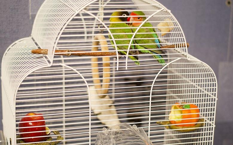 попугаи неразлучники в клетке