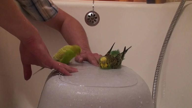 неразлучники купаются в ванне