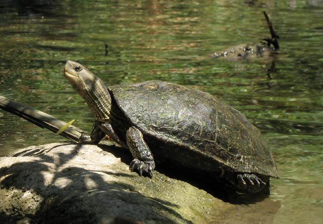 каспийская черепаха в диких условиях