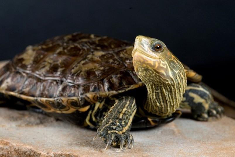 молодая каспийская черепаха