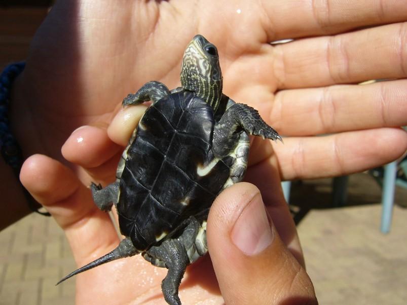 маленькая каспийская черепаха