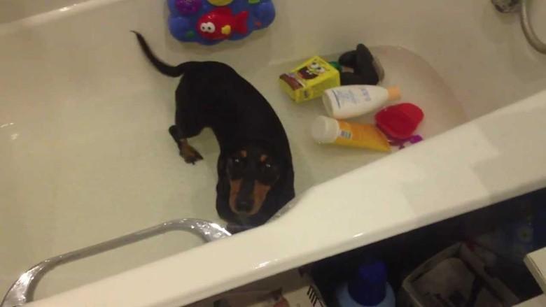 такса принимает ванны