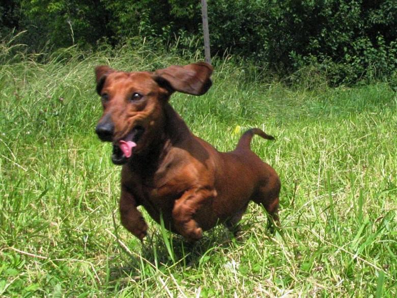 такса бежит по траве