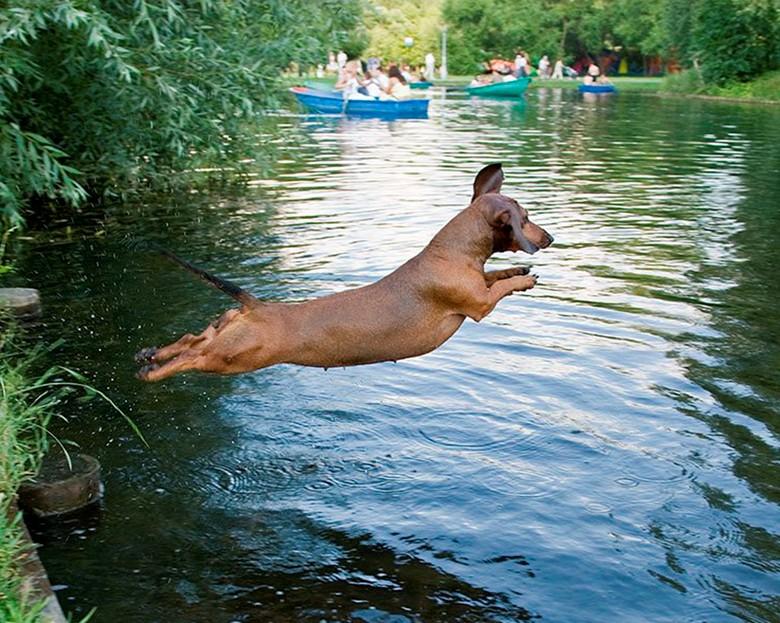 такса прыгнула в реку